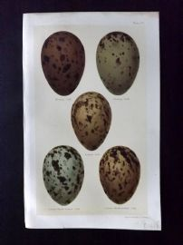 Seebohm 1896 Antique Bird Egg Print. Gulls 33